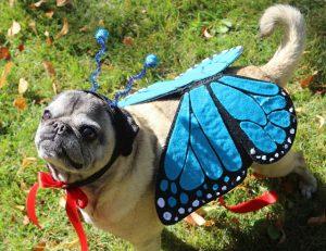 butterflypug